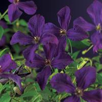 "Vanderstarre Paarse bosrank (Clematis viticella ""Polish Spirit"") klimplant"