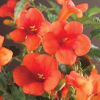 Vanderstarre Rode trompetbloem (Campsis radicans) klimplant