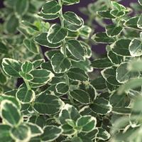 "Vanderstarre Grootbladige kardinaalsmuts (Euonymus fortunei ""Emerald Gaiety"") klimplant"