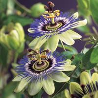 "Vanderstarre Blauwe passiebloem (Passiflora ""Caerulea"") klimplant"