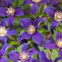 "Blauwe bosrank (Clematis ""SoMany® Blue Flowers"" PBR) klimplant"