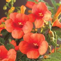 "Vanderstarre Oranje trompetbloem (Campsis tagliabuana ""Madame Galen"") klimplant - 70 cm - 1 stuks"