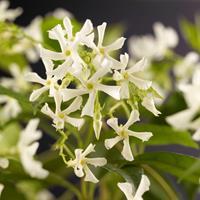 Vanderstarre Toscaanse jasmijn (Trachelospermum jasminoides) klimplant
