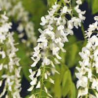 """Vanderstarre Blauweregen wit (Wisteria Floribunda """"Alba"""") klimplant"""