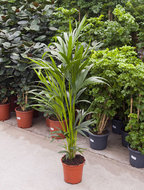 Kentia Palm howea forsteriana 5pp L kamerplant