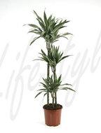 Dracaena Deremensis 3 stam