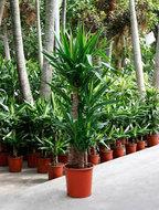 Yucca elephantipes stam M kamerplant