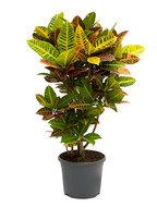 Croton petra M kamerplant