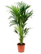 Kentia Palm howea forsteriana 6pp kamerplant