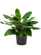 Philodendron imperial green XL kamerplant