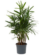 Rhapis excelsa M bamboepalm kamerplant