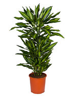 Dracaena cintho L kamerplant