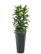 Standard All in 1 Hydrocultuur Ficus cyathistipula rond antraciet