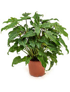 Philodendron xanadu XS kamerplant