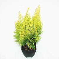 "Plantenwinkel.nl Schijncipres (Chamaecyparis lawsoniana ""Ivonne"") conifeer"