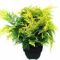 "Plantenwinkel.nl Schijncipres (Chamaecyparis lawsoniana ""Stardust"") conifeer"