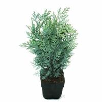 """Plantenwinkel.nl Schijncipres (Chamaecyparis lawsoniana """"Van Pelt's Blue"""") conifeer"""