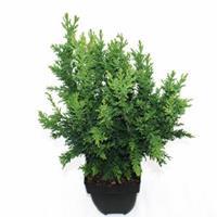 "Plantenwinkel.nl Schijncipres (Chamaecyparis obtusa ""Drath"") conifeer"