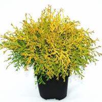 "Plantenwinkel.nl Schijncipres (Chamaecyparis obtusa ""Kamarachiba"") conifeer"