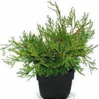 """Plantenwinkel.nl Schijncipres (Chamaecyparis obtusa """"Pygmaea"""") conifeer"""