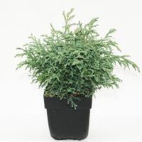 "Plantenwinkel.nl Schijncipres (Chamaecyparis pisifera ""Baby Blue"") conifeer"