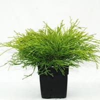 """Plantenwinkel.nl Schijncipres (Chamaecyparis pisifera """"Filifera Aurea"""") conifeer"""