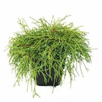 "Plantenwinkel.nl Schijncipres (Chamaecyparis pisifera ""Filifera Nana"") conifeer"