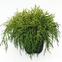 "Plantenwinkel.nl Schijncipres (Chamaecyparis pisifera ""Sungold"") conifeer"