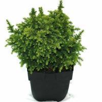 """Plantenwinkel.nl Sikkelden (Cryptomeria Japonica """"Vilmoriniana"""") conifeer"""