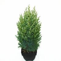 "Plantenwinkel.nl Chinese jeneverbes (Juniperus Chinensis ""Stricta"") conifeer"