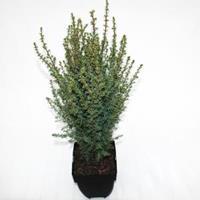 "Plantenwinkel.nl Jeneverbes (Juniperus communis ""Arnold"") conifeer"
