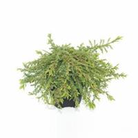 "Plantenwinkel.nl Jeneverbes (Juniperus communis ""Green Carpet"") conifeer"