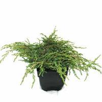 "Plantenwinkel.nl Kruipende jeneverbes (Juniperus communis ""Repanda"") conifeer"