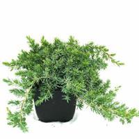 "Plantenwinkel.nl Kruipende jeneverbes (Juniperus conferta ""Blue Pacific"") conifeer"