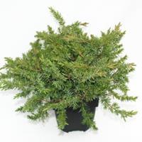 "Plantenwinkel.nl Kruipende jeneverbes (Juniperus conferta ""Schlager"") conifeer"