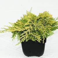 "Plantenwinkel.nl Kruipende jeneverbes (Juniperus horizontalis ""Golden Carpet"") conifeer"