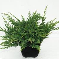 "Plantenwinkel.nl Kruipende jeneverbes (Juniperus horizontalis ""Prince of Wales"") conifeer"