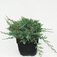 "Plantenwinkel.nl Kruipende jeneverbes (Juniperus horizontalis ""Wiltonii"") conifeer"
