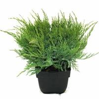 "Plantenwinkel.nl Jeneverbes (Juniperus media ""Mint Julep"") conifeer"
