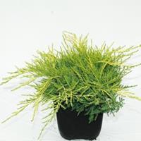 "Plantenwinkel.nl Jeneverbes (Juniperus media ""Old Gold"") conifeer"