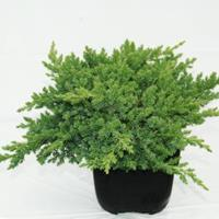 "Plantenwinkel.nl Kruipende jeneverbes (Juniperus procumbens ""Nana"") conifeer"