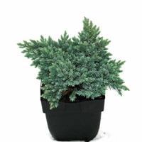 "Plantenwinkel.nl Jeneverbes (Juniperus squamata ""Blue Star"") conifeer"
