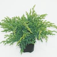 "Plantenwinkel.nl Jeneverbes (Juniperus squamata ""Blue Swede"") conifeer"