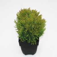 "Plantenwinkel.nl Westerse levensboom (Thuja occidentalis ""Danica"") conifeer"