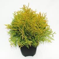 "Plantenwinkel.nl Westerse levensboom (Thuja occidentalis ""Golden Globe"") conifeer"