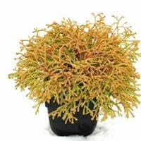 "Plantenwinkel.nl Westerse levensboom (Thuja occidentalis ""Golden Tuffet"") conifeer"