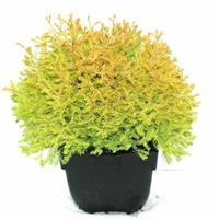 "Plantenwinkel.nl Westerse levensboom (Thuja occidentalis ""Rheingold"") conifeer"