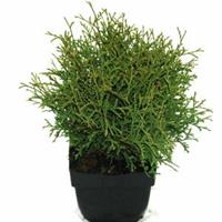 "Plantenwinkel.nl Westerse levensboom (Thuja occidentalis ""Tiny Tim"") conifeer"
