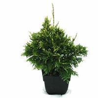 "Plantenwinkel.nl Reuzenlevensboom (Thuja plicata ""Can-Can"") conifeer"