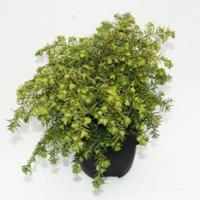 "Plantenwinkel.nl Hemlockspar (Tsuga Canadensis ""Nana"") conifeer"